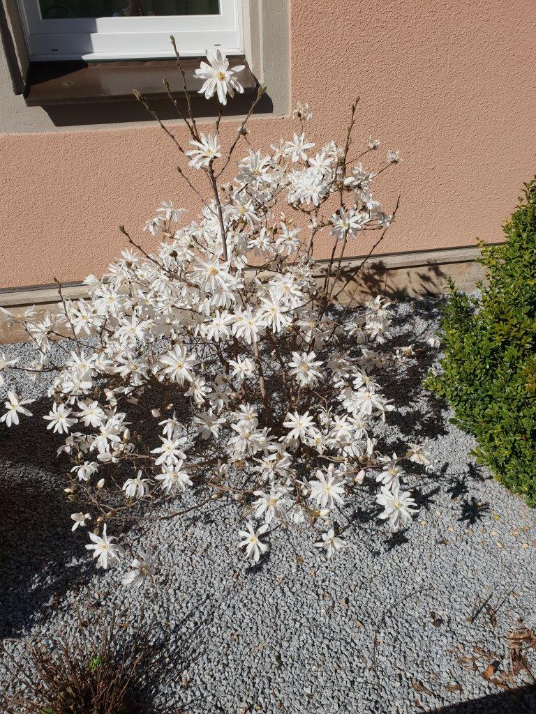 gro blum sternmagnolie magnolia loebneri g nstig online. Black Bedroom Furniture Sets. Home Design Ideas