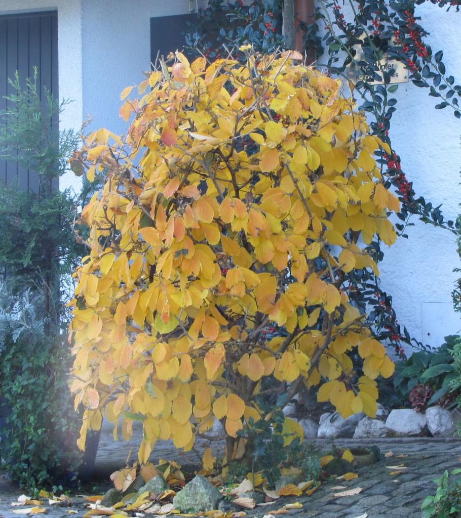 eisenholzbaum parrotia persica g nstig online kaufen. Black Bedroom Furniture Sets. Home Design Ideas
