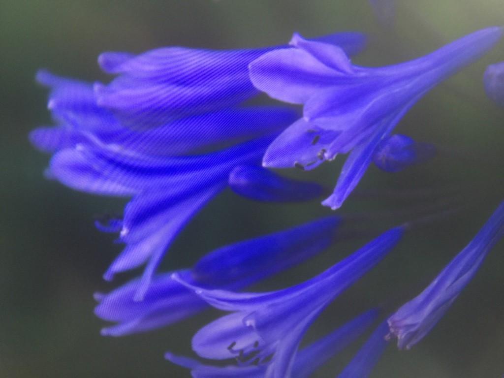 afrikanische schmucklilie afrikanische schmucklilie blau kaufen garten schl ter afrikanische. Black Bedroom Furniture Sets. Home Design Ideas