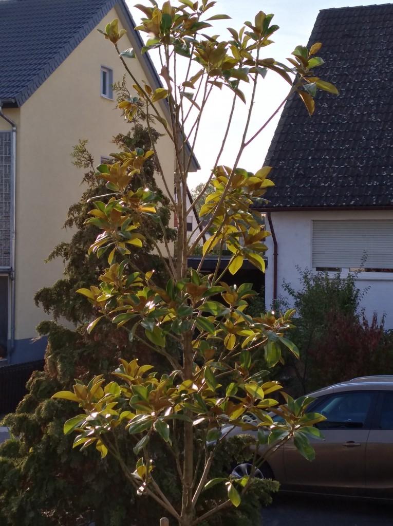 magnolie golden gift magnolia golden gift g nstig online. Black Bedroom Furniture Sets. Home Design Ideas