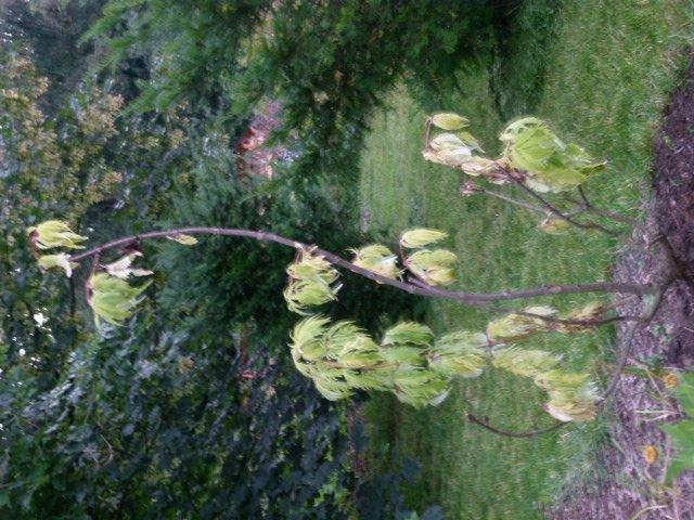 farnbl ttriger goldholunder sambucus racemosa plumosa. Black Bedroom Furniture Sets. Home Design Ideas